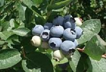 Arándano, la fruta con mayor poder antioxidante